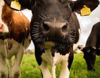Warum Milchprodukte dem Körper Kalzium entziehen