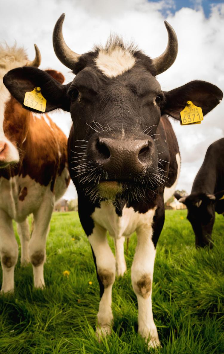 Warum entziehen Milchprodukte dem Körper Kalzium